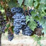 Sangiovese grosso