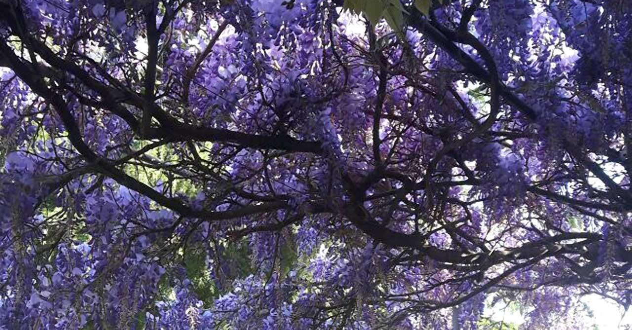 glicine-in-fiore